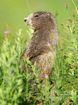Marmot Youngster by Mike Dawson