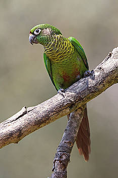 Maroon-bellied Parakeet by Jean-Luc Baron