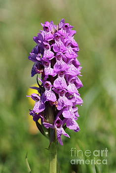 Marsh Orchid by Peter Skelton