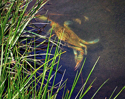 Maryland Blue Crab Lurking in an Assateague Marsh by Bill Swartwout Fine Art Photography