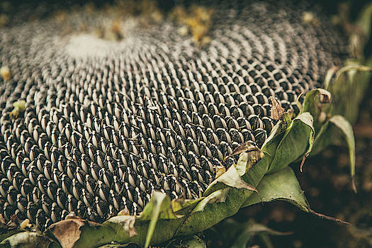 Mature sunflower background by Lukasz Szczepanski