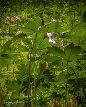May Apple Forest by LeeAnn McLaneGoetz McLaneGoetzStudioLLCcom