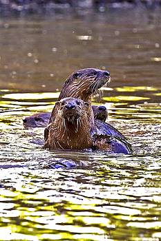 May Day Swarm of Otters by Rick Grisolano Photography LLC