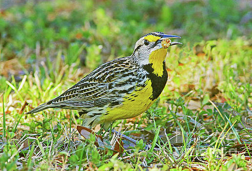 Meadowlark with meal by Larry Nieland