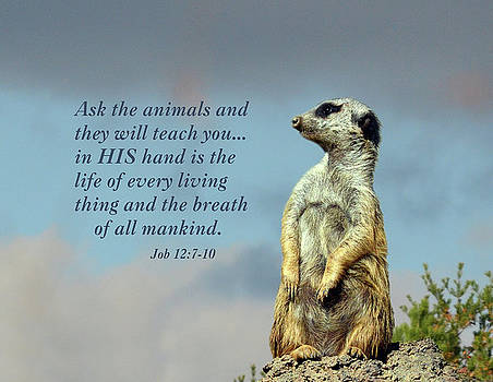 Meerkat Contemplation With Scripture by Sandi OReilly
