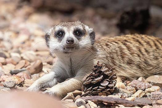 Meerkat by Nicki Hoffman