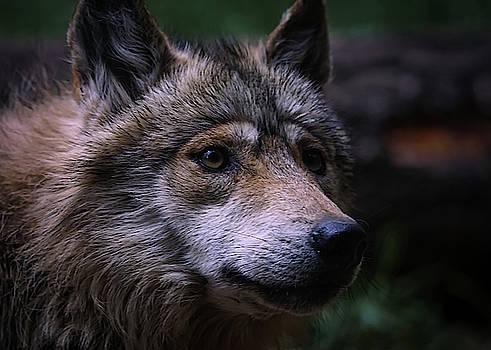 Mexican Grey Wolf A by Ernie Echols