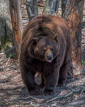 Michigan Black Bear by LeeAnn McLaneGoetz McLaneGoetzStudioLLCcom
