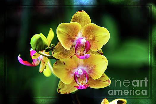 Midnight Orchid by Mariola Bitner
