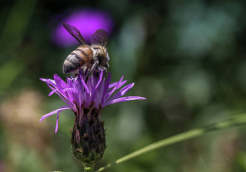 Mighty Macro Bee by Johnathan Erickson