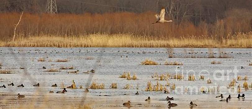 Migrating Ring Necked and Redhead Ducks with Sandhill Crane             Spring       Indiana by Rory Cubel