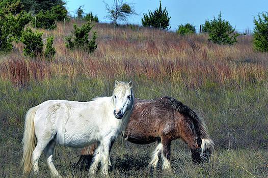 Miniature horses by Savannah Gibbs