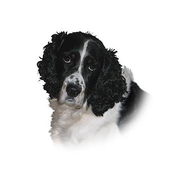 Misko - The English Springer Spaniel by Chris Gill