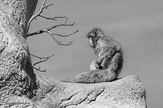 Missing Spring Macaque by LeeAnn McLaneGoetz McLaneGoetzStudioLLCcom