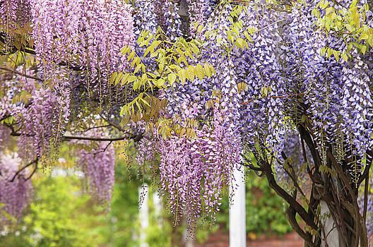 Jenny Rainbow - Mixed Bloom of Purple and Purple Wisteria