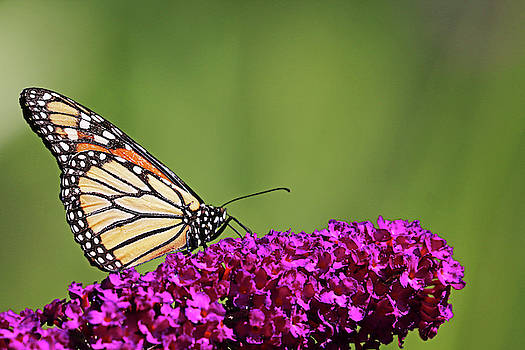 Monarch On Magenta Bloom by Debbie Oppermann