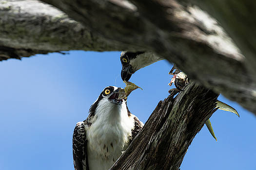 Mom and Juvenile Osprey by Darrell Gregg