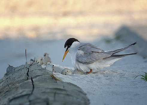 Momma Least Tern by Susan Rissi Tregoning