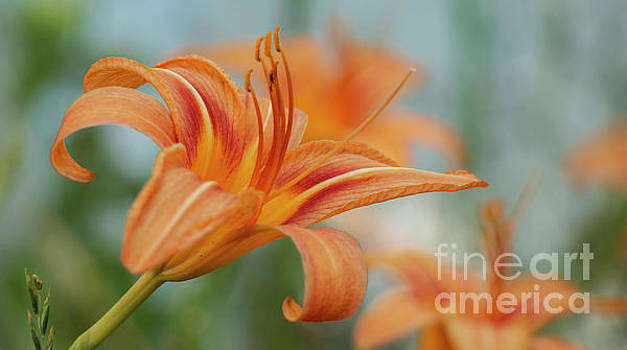 Moms Orange Day Lily by Sharon Mayhak