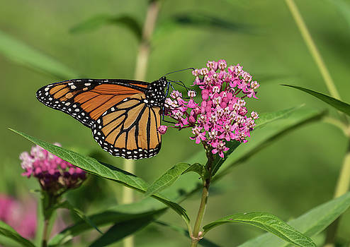 Monarch 2019-1 by Thomas Young