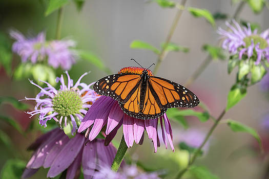 Monarch 2019-3 by Thomas Young