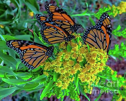 Monarch Butterflies 12 by JudithAnne Monahan