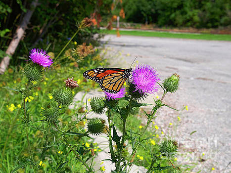Monarch butterfly Danaus plexippus on a thistle by Louise Heusinkveld