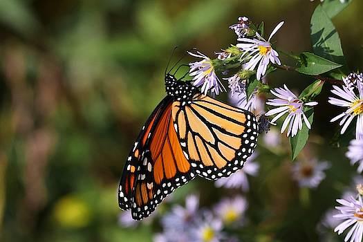 Monarch Butterfly II 2018 by Carol Montoya