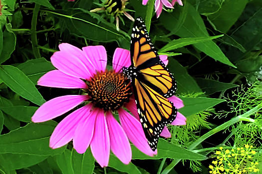Monarch Butterfly on Cone Flower by Pat Cook