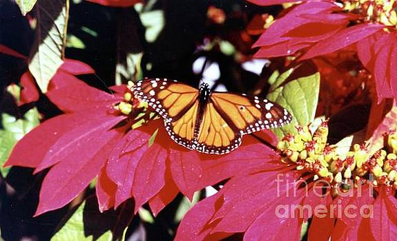 Monarch Butterfly on Poinsetia by Phyllis Kaltenbach