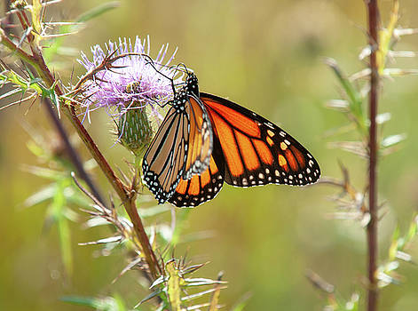 Monarch Butterfly on Thistle 2 by Lara Ellis