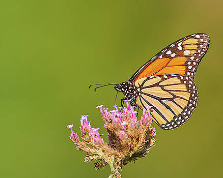 Monarch Butterfly by Steve Kaye
