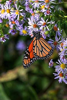 Monarch Butterfly Vertical  by Carol Montoya