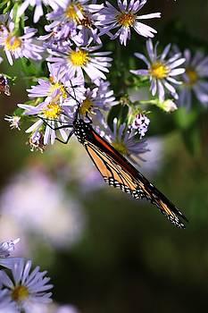 Monarch Butterfly Wings Closed  by Carol Montoya