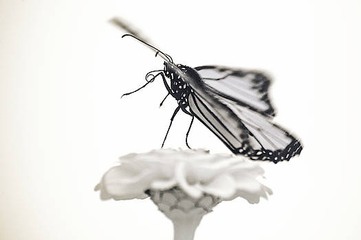 Monarch in Infrared 4 by Brian Hale