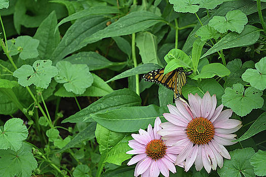 Monarch Laying Eggs by Aimee L Maher ALM GALLERY