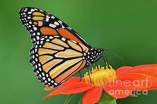 Regina Geoghan - Monarch Nectaring on Mexican Sunflower