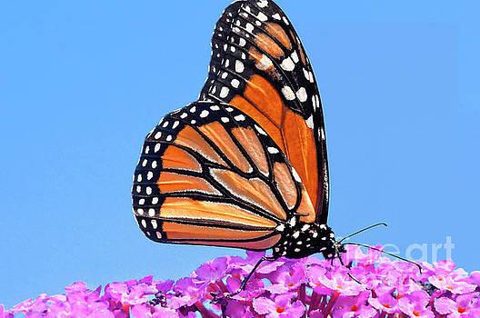 Regina Geoghan - Monarch of the Butterfly Bush