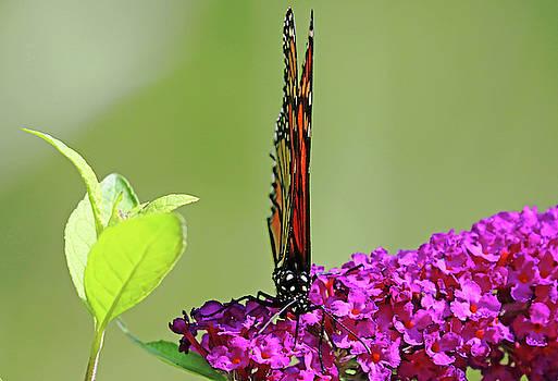 Monarch On Buddleia With Wings Folded by Debbie Oppermann
