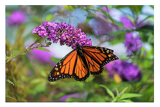 Monarch on Butterfly bush by Rima Biswas