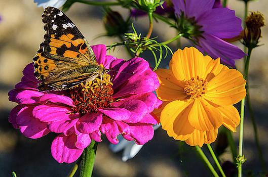 Monarch on Flower by Paul Croll