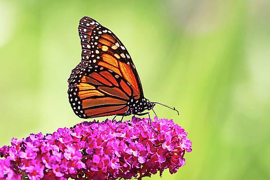 Monarch On Magenta Buddleia by Debbie Oppermann