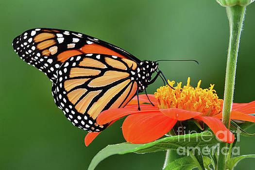 Regina Geoghan - Monarch on Orange Mexican  Sunflower