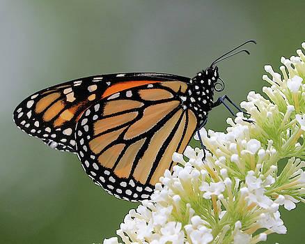 Monarch on White by Doris Potter