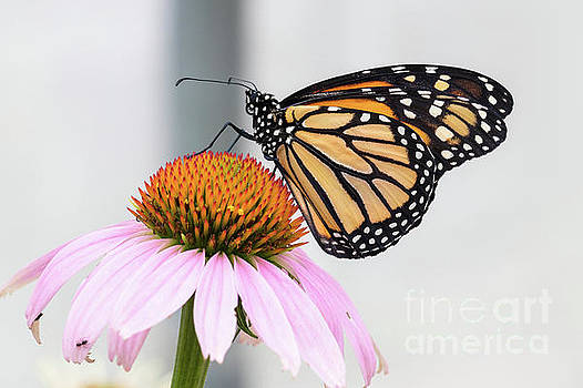 Monarch Profile by Nicki Hoffman