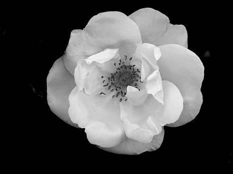 Monochrome Flower Series - White Rose by Arlane Crump