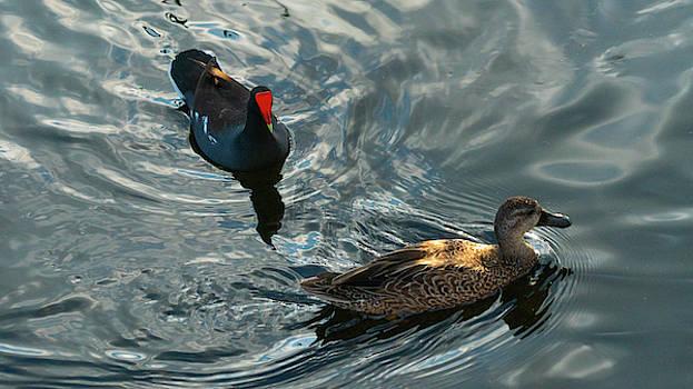 Moorhen and Duck Green Cay Wetlands Boynton Beach Florida by Lawrence S Richardson Jr