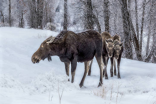 Moose Family in the Snow  by Barbara Hayton