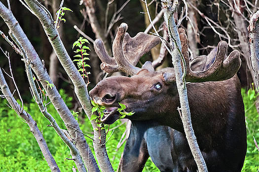Moose with an anomalous eye, at dinner time by Tatiana Travelways