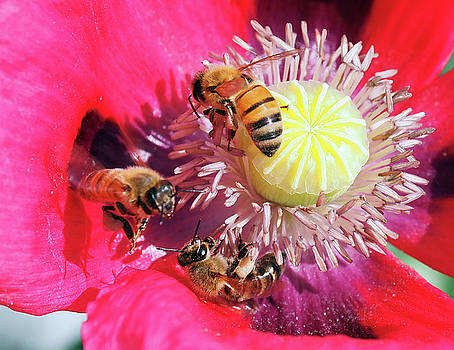 More Bees in the Poppies by Joe Schofield